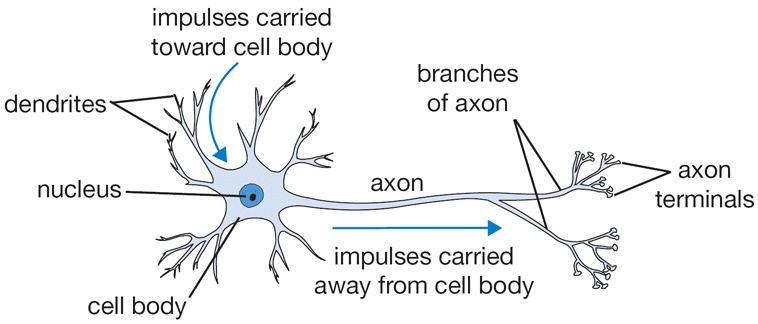 Nơ-ron sinh học. Source: https://cs231n.github.io/
